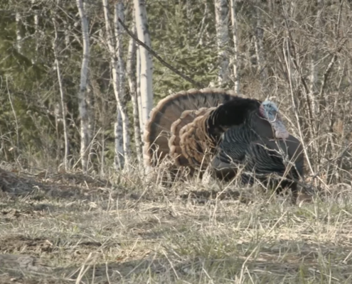 Effective Use of Jake Decoys for Turkey Season