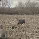 What's the Right Turkey Decoy Distance | How Far Do You Set Your Decoys