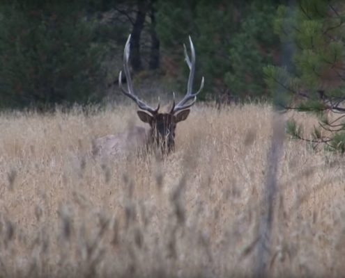 Archery Elk in the Rocky Mountains | Raised Hunting