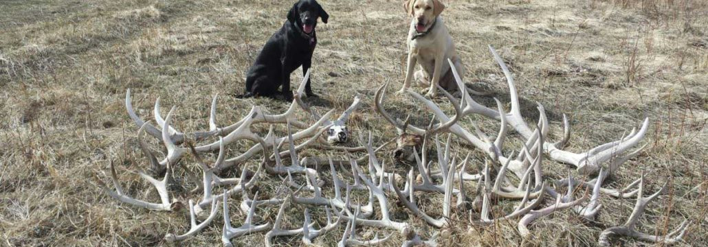 Best Places To Find More Deer Sheds Raised Hunting