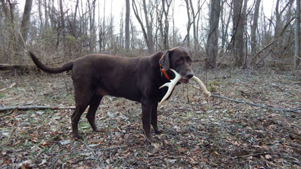 where-to-find-shed-antlers-shed-hunting-pic2