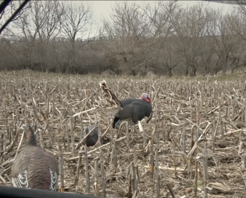 What's the right turkey decoy distance? | How far do you set your decoys?